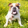 British Bulldog In Field Of Yellow Summer Flowers